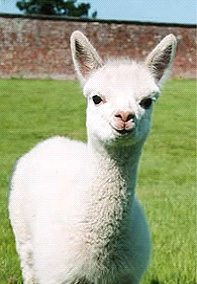 Hera.jpg alpaca